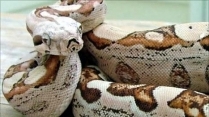 1288788911_49710387_boaconstrictor2_27448200[1]