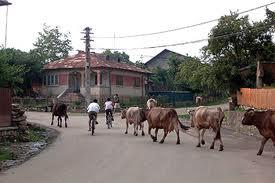 Una, dintre vacile ce trec pe drum,  trebuie să fie a tânărului Gigi pentru că imaginea este din aceea localitate de la marginea județului