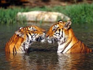 Panthera tigris tigrisIndian tigers in the water, facing each other