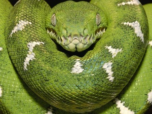 Sarpele-boa-constrictor[1]